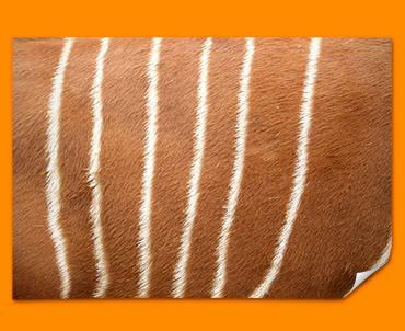 Deer Animal Skin Poster