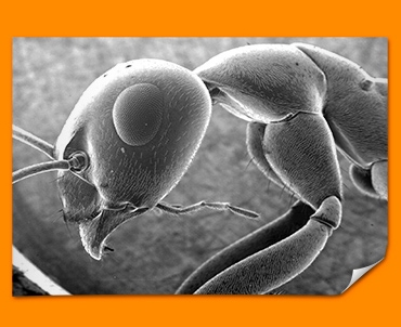 Micro Ant Poster