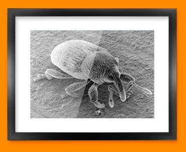 Micro Mite Framed Print