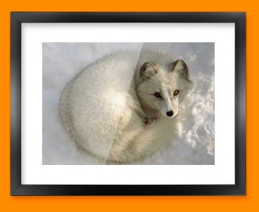 Snow Fox Framed Print
