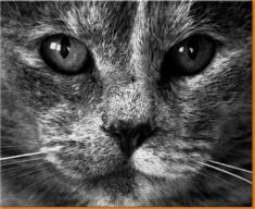 Grey Cat Canvas Art Print