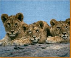 Lion Cubs Canvas Art Print