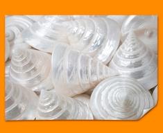 Sea Cone Shells Poster