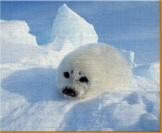 Seal Pup Canvas Art Print