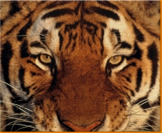 Tiger Face Canvas Art Print