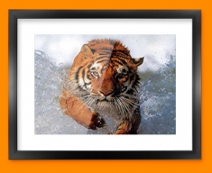 Tiger in Water Framed Print