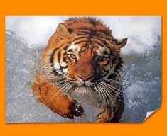 Tiger in Water Poster