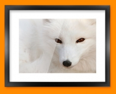 White Fox Framed Print